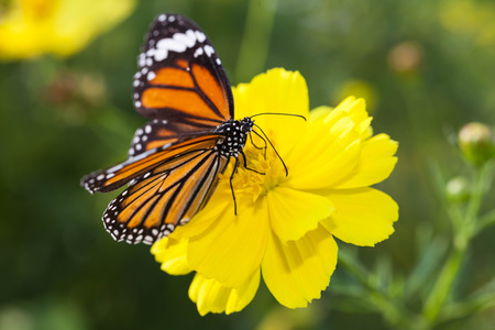 pollinator: Common tiger butterfly with cosmos flower and insect pollinator in the nature