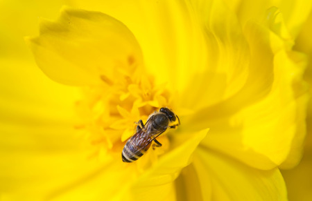 pollinator: Bee collecting nectar from flower and insect pollinator in the nature