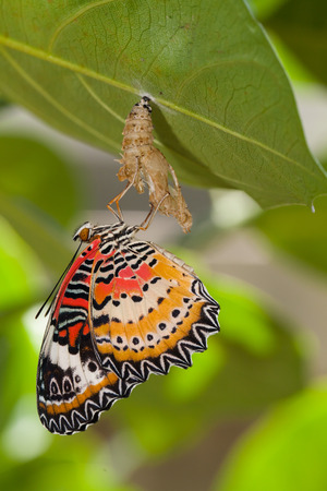 pupa: Leopard lacewing butterfly come out from pupa