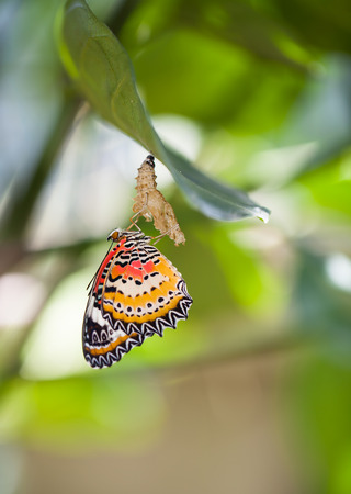 lacewing: Leopard lacewing butterfly come out from pupa