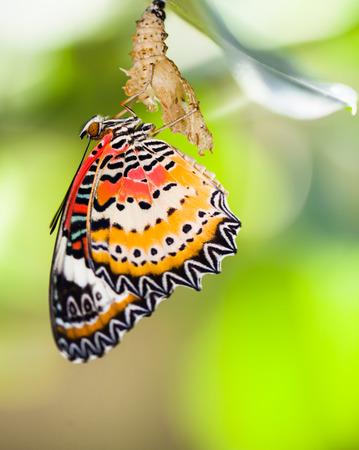 mariposa: Leopardo mariposa lacewing salga de pupa Foto de archivo