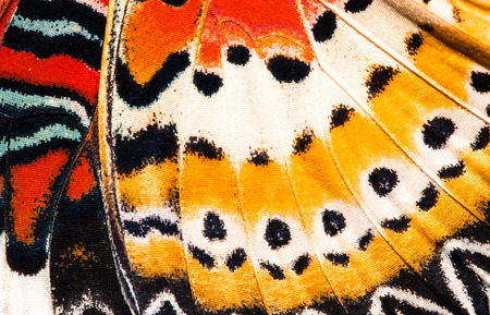 butterfly: Leopard lacewing butterfly wing texture background