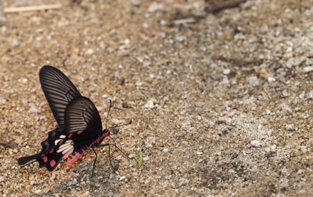 mormon: Common mormon butterfly eat mineral on sand