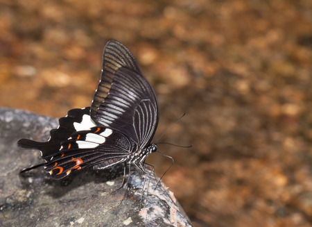 helen: Red helen butterfly eating mineral on the stone in the nature