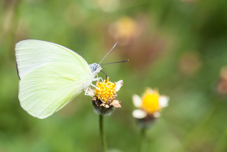pollinator: Butterfly collecting nectar from flower and insect pollinator in the nature