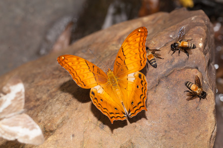 cruiser: Common cruiser butterfly eatting mineral in the nature