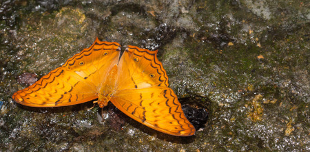 cruiser: Common cruiser butterfly eating mineral in the nature Stock Photo