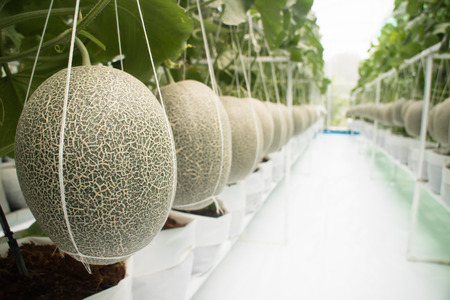 Honeydew melon fruit in greenhouse save for toxic ans chemical