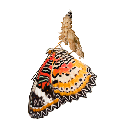 lacewing: Leopard lacewing butterfly come out from pupa isolated on the white background Stock Photo