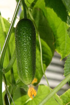 vitamines: Growing cucumbers