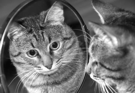 Reflectie. Kat in de spiegel kijken.