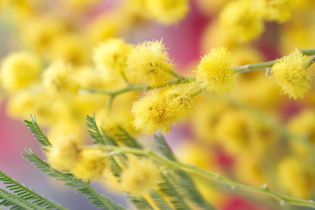 Mimosa flowers photo
