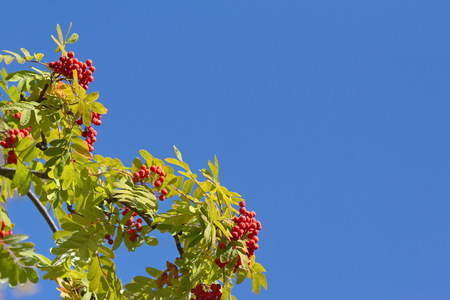 rowan tree: Colorful autumn rowan tree branches against blue sky background Stock Photo