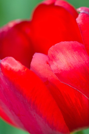 middle easter: Red tulip as a background