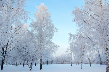 the trees covered with snow: Winter forest with trees covered snow Stock Photo