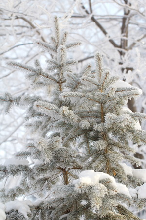 covered in snow: Fir tree covered snow in winter forest Stock Photo