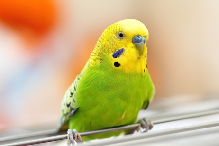 animal private: Portrait of colorful wavy parrot Stock Photo