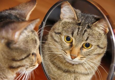 Reflectie. Grijze kat die de spiegel onderzoekt, Stockfoto
