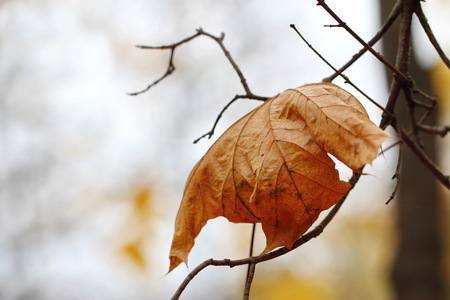wilted: Wilted leaf on a dry branch in autumn forest Stock Photo