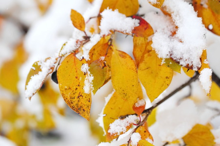 sudden: Sudden snowfall. Autumn leaves covered with snow