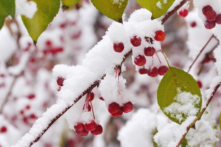 Sudden snowfall. Autumn leaves and berries covered with snow