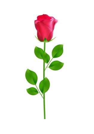 Single pink rose on white background