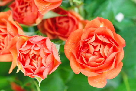 Bouquet of beautiful roses on natural background