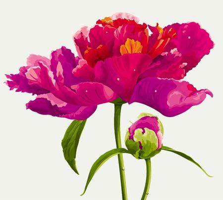 pfingstrosen: Luxuriöse rote Pfingstrose Blumen und Keim in hellen Farben gemalt Illustration
