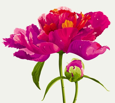 Luxurious red peony flower and the bud painted in bright colors Vector