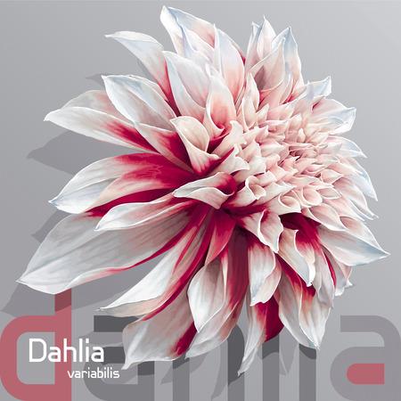 Luxe rood-witte tuin bloem van de Dahlia (Dahlia variabilis) - fotorealistische vector tekening op neutrale grijze achtergrond