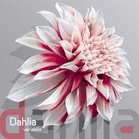 Luxurious red-white garden Dahlia flower (Dahlia variabilis) - photoreal vector drawing on neutral grey background Ilustração