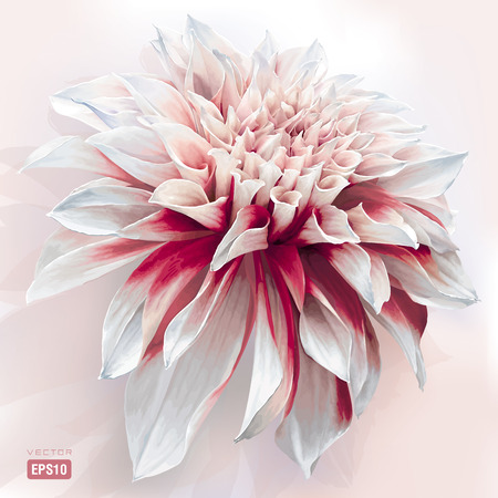 dahlia: Luxurious red-white garden Dahlia flower painted in watercolor style EPS10 Illustration