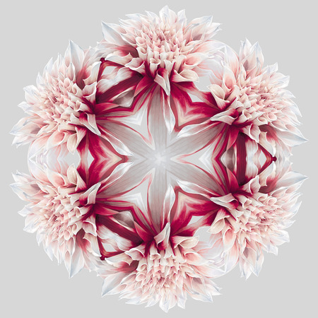 Design and art element - abstract kaleidoscopic rosette consisting of reflections of red-white garden Dahlia flower on neutral grey background for. 6 radial symmetry.