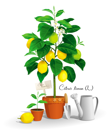Cute Lemon tree with its Latin name, lemon seedling in a pots and garden tools