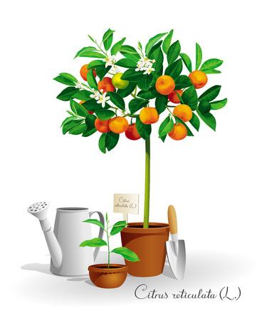 Mandarinenbaum mit seinem lateinischen Namen in einem Topf und den Gartenwerkzeugen Standard-Bild - 75827494