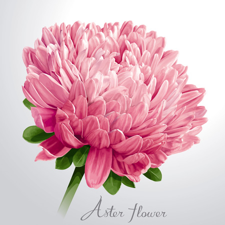 Luxurious pink Aster flower for floral decoration