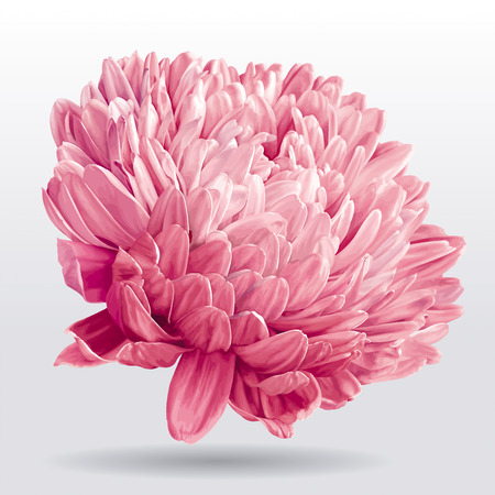 Flor de Aster rosa de lujo para la decoración floral Foto de archivo - 82588096