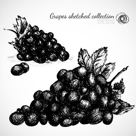 Grape hand drawn illustration Vector