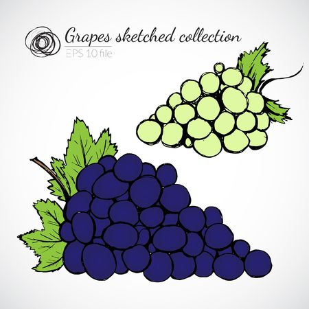 Grape hand drawn illustration Vector