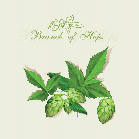barley hop: Hops Illustration. Isolated background.