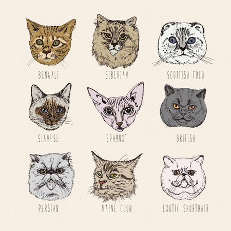 bengal: Set of cats. Breeds. Siamese, British, Siberian, Persian, Scottish Fold, Maine Coon, Bengal, Sphynx in doodle hipster vintage style.
