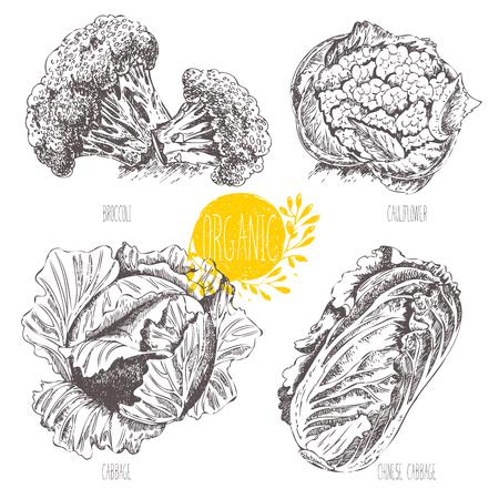 Serie - fruta vector, verduras y especias. Ejemplo a mano en el estilo vintage. Bosquejo. Comida sana. gráfico lineal. Conjunto de la col, la coliflor, el brócoli, la col china