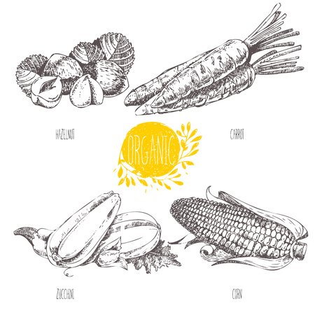 filberts: Series - vector fruit, vegetables and spices. Hand-drawn illustration in vintage style. Sketch. Healthy food. Linear graphic. Set of carrot, corn, squash, zucchini, hazelnut, filbert