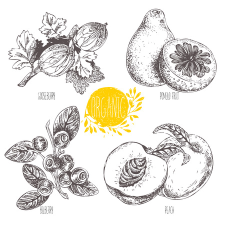 whortleberry: Series - vector fruit, vegetables and spices. Hand-drawn illustration. Sketch. Healthy food. Linear graphic. Set of blueberry, bilberry, whortleberry, blaeberry, gooseberry, peach, pomelo fruit Illustration