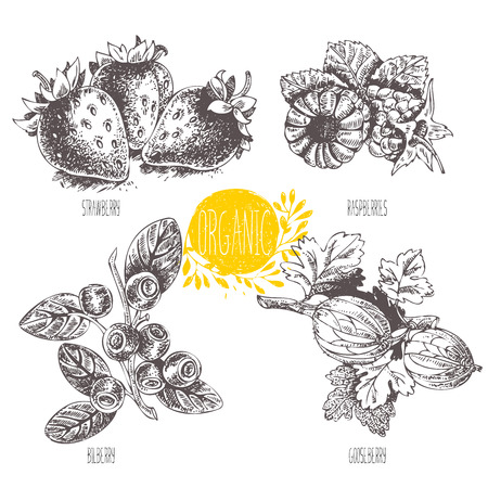 whortleberry: Series - vector fruit and spices. Hand-drawn illustration. Sketch. Healthy food. Linear graphic. Set of strawberry, raspberry, blueberry, bilberry, whortleberry, huckleberry, hurtleberry, gooseberry Illustration