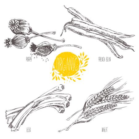 ejotes: Serie - fruta vector, verduras y especias. Ejemplo a mano en el estilo vintage. Bosquejo. Comida sana. gráfico lineal. Conjunto de trigo, cebolla, judías verdes, puerros, amapola