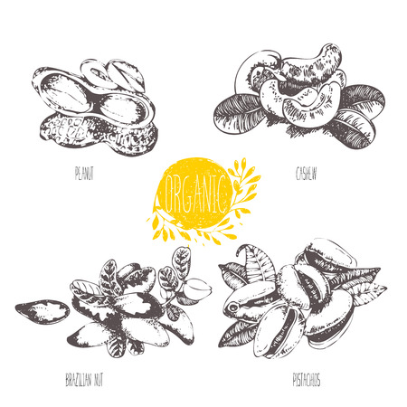 brazil nut: Series - fruit and spices.  illustration. Sketch. Healthy food. Linear graphic. Set of pistachio, cashew, brazil nut and peanut.