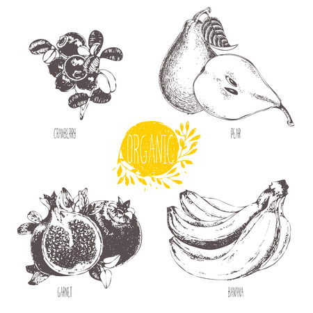 cranberry illustration: Series - fruit and spices. illustration. Sketch. Healthy food. Linear graphic. Set of pear, banana, garnet and cranberry. Illustration
