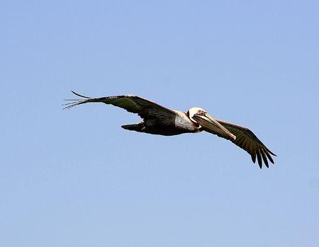 Soaring Pelican in Florida.