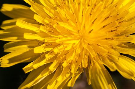 macroshot: Macro shot of a Dandelion Stock Photo